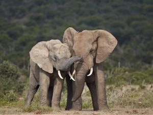 African Elephant (Loxodonta Africana) Bulls Sparring by James Hager