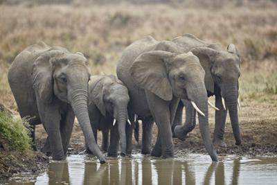 African elephant (Loxodonta africana) drinking, Mikumi National Park, Tanzania, East Africa, Africa by James Hager