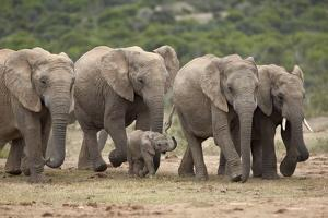 African Elephant (Loxodonta Africana) Family, Addo Elephant National Park, South Africa, Africa by James Hager