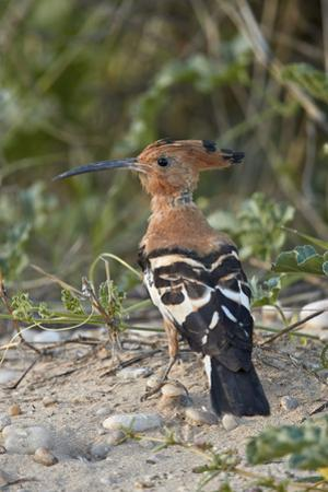 African hoopoe (Upupa africana), Kgalagadi Transfrontier Park, South Africa, Africa by James Hager