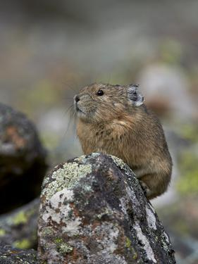 American Pika (Ochotona Princeps), Uncompahgre National Forest, Colorado, Usa by James Hager