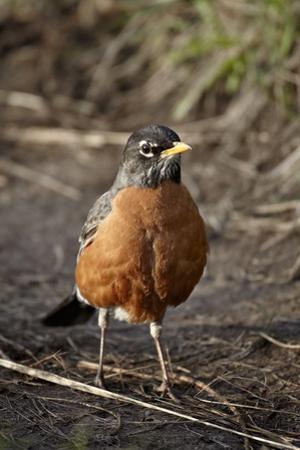 American Robin (Turdus Migratorius) by James Hager
