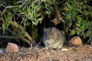Angoni Vlei Rat (Otomys Angoniensis), Addo Elephant National Park, South Africa, Africa by James Hager
