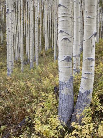 Aspen Grove in Early Fall, White River National Forest, Colorado by James Hager