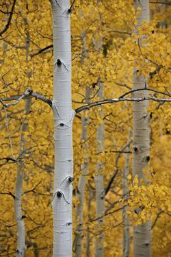 Aspen Trunks Among Yellow Leaves by James Hager