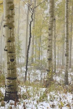 Aspens in the Fall in Fog, Grand Mesa National Forest, Colorado by James Hager
