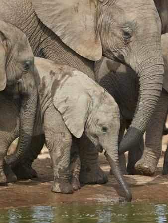 Baby African Elephant (Loxodonta Africana) Drinking