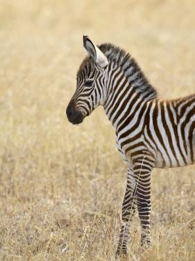 Baby Grant's Zebra, Masai Mara National Reserve, Kenya, East Africa by James Hager