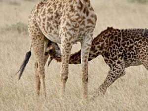 Baby Masai Giraffe Nursing, Masai Mara National Reserve by James Hager