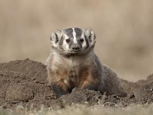Badger (Taxidea Taxus), Custer State Park, South Dakota, United States of America, North America by James Hager
