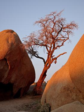 Bare Tree Among Boulders at Sunrise, Joshua Tree National Park, California by James Hager