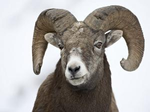 Bighorn Sheep Ram in the Snow, Yellowstone National Park, Wyoming, USA by James Hager