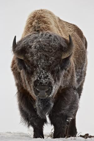 Bison (Bison Bison) Bull Covered with Frost in the Winter