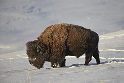 Bison (Bison Bison) Bull in the Snow