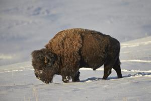Bison (Bison Bison) Bull in the Snow by James Hager
