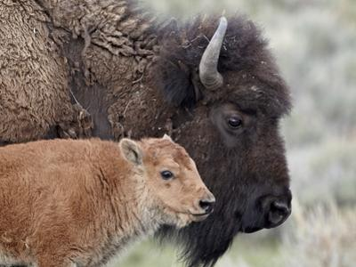 Bison (Bison Bison) Calf in Front of its Mother, Yellowstone National Park, Wyoming, USA