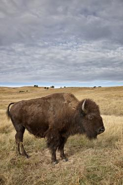 Bison (Bison Bison) Cow, Custer State Park, South Dakota, United States of America, North America by James Hager