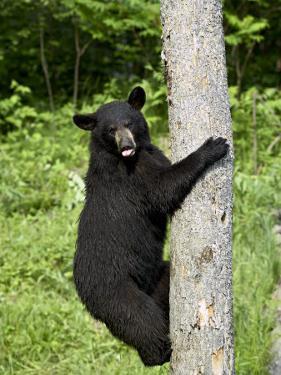 Black Bear Climbing a Tree, in Captivity, Sandstone, Minnesota, USA by James Hager