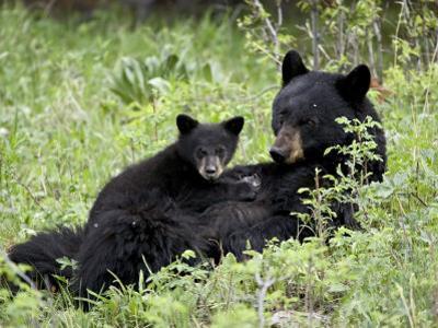Black Bear Sow Nursing a Spring Cub, Yellowstone National Park, Wyoming, USA
