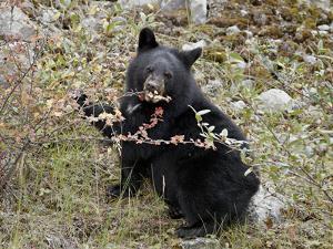 Black Bear (Ursus Americanus) Cub Eating Canadian Gooseberry Berries, Jasper National Park, Alberta by James Hager
