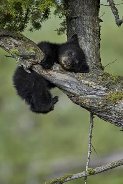 Black Bear (Ursus americanus) cub of the year or spring cub, Yellowstone Nat'l Park, Wyoming, USA by James Hager