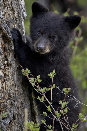 Black Bear (Ursus Americanus) Cub of the Year or Spring Cub, Yellowstone National Park, Wyoming