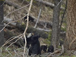 Black Bear (Ursus Americanus) Sow and Three Cubs of the Year by James Hager
