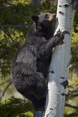 Black Bear (Ursus Americanus) Sow Climbing a Tree by James Hager
