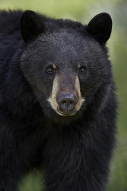 Black Bear (Ursus Americanus), Yellowstone National Park, Wyoming by James Hager