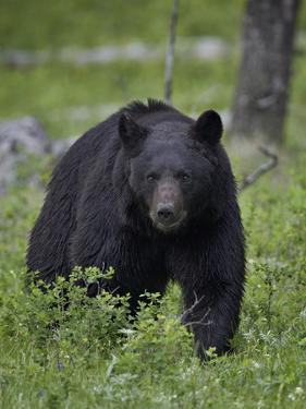 Black Bear (Ursus Americanus) by James Hager