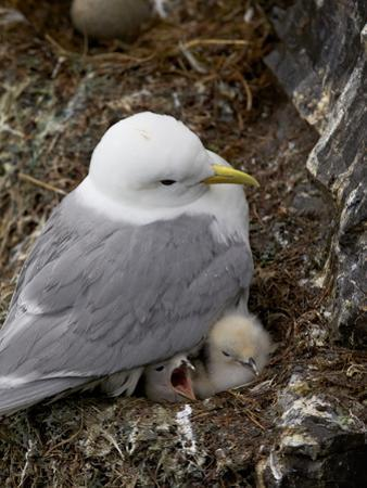 Black-Legged Kittiwake (Rissa Tridactyla) Adult and Two Chicks on the Nest, Iceland, Polar Regions by James Hager