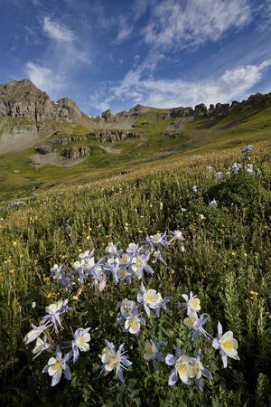 Blue columbine  in an Alpine basin, San Juan Nat'l Forest, Colorado, USA