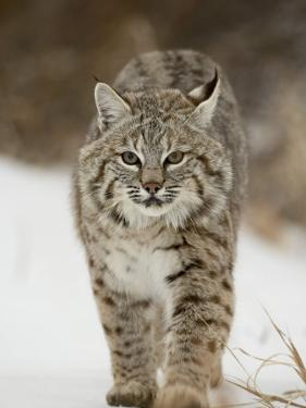 Bobcat in Snow, Near Bozeman, Montana, United States of America, North America by James Hager