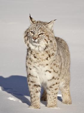 Bobcat (Lynx Rufus) in the Snow in Captivity, Near Bozeman, Montana, USA by James Hager