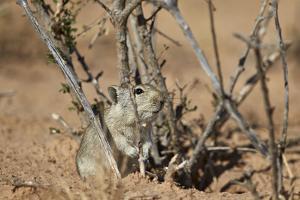 Brant's Whistling Rat (Parotomys Brantsii) by James Hager