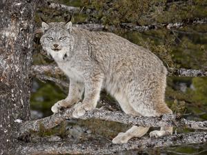Canadian Lynx (Lynx Canadensis) in a Tree, in Captivity, Near Bozeman, Montana, USA by James Hager