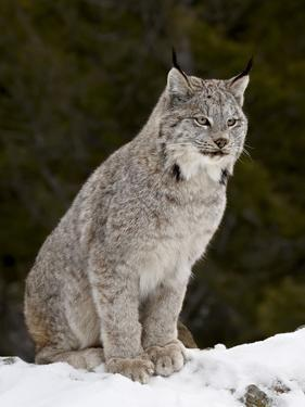 Canadian Lynx (Lynx Canadensis) in the Snow, in Captivity, Near Bozeman, Montana, USA by James Hager