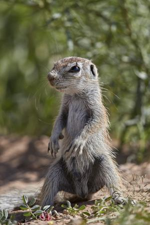 Cape ground squirrel (Xerus inauris), juvenile, Kgalagadi Transfrontier Park, South Africa, Africa by James Hager