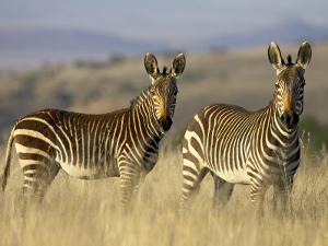 Cape Mountain Zebra, Mountain Zebra National Park, South Africa, Africa by James Hager