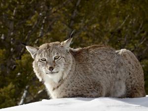 Captive Siberian Lynx (Eurasian Lynx) (Lynx Lynx) in the Snow, Near Bozeman, Montana, USA by James Hager