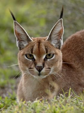 Caracal (Caracal Caracal), Serengeti National Park, Tanzania, East Africa, Africa by James Hager