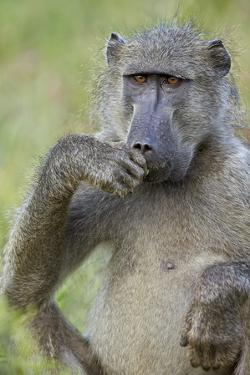 Chacma Baboon (Papio Ursinus) Eating, Kruger National Park, South Africa, Africa by James Hager