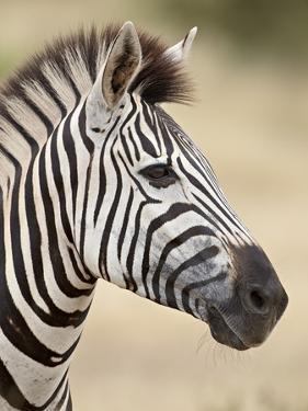 Chapman's Zebra (Plains Zebra) (Equus Burchelli Antiquorum), Kruger National Park, South Africa, Af by James Hager