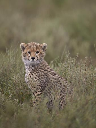 Cheetah (Acinonyx Jubatus) Cub, Serengeti National Park, Tanzania, East Africa, Africa by James Hager