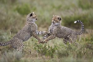 Cheetah (Acinonyx Jubatus) Cubs Playing, Serengeti National Park, Tanzania, East Africa, Africa by James Hager