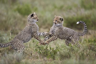 Cheetah (Acinonyx Jubatus) Cubs Playing, Serengeti National Park, Tanzania, East Africa, Africa by James Hager