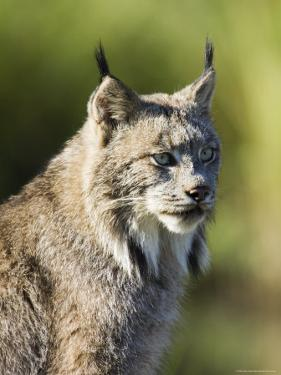 Close-Up of a Lynx (Lynx Canadensis) Sitting, in Captivity, Sandstone, Minnesota, USA by James Hager