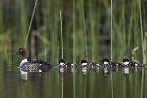 Common Goldeneye (Bucephala Clangula) Female Swimming with Four Chicks, British Columbia, Canada by James Hager
