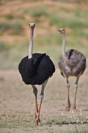 Common ostrich (Struthio camelus), male in breeding plumage with female, Kgalagadi Transfrontier Pa by James Hager
