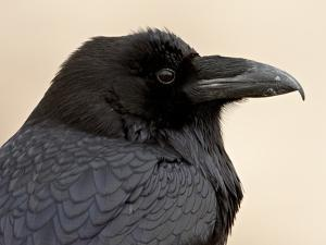 Common Raven (Corvus Corax), Petrified Forest National Park, Arizona by James Hager